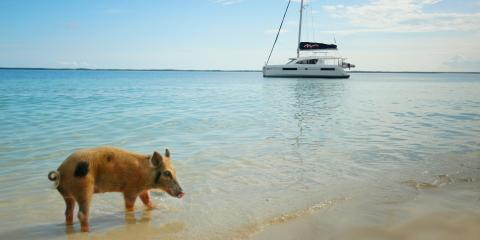 Pig walking on beach in Bahamas