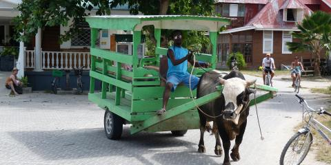 Cow pulling buggy