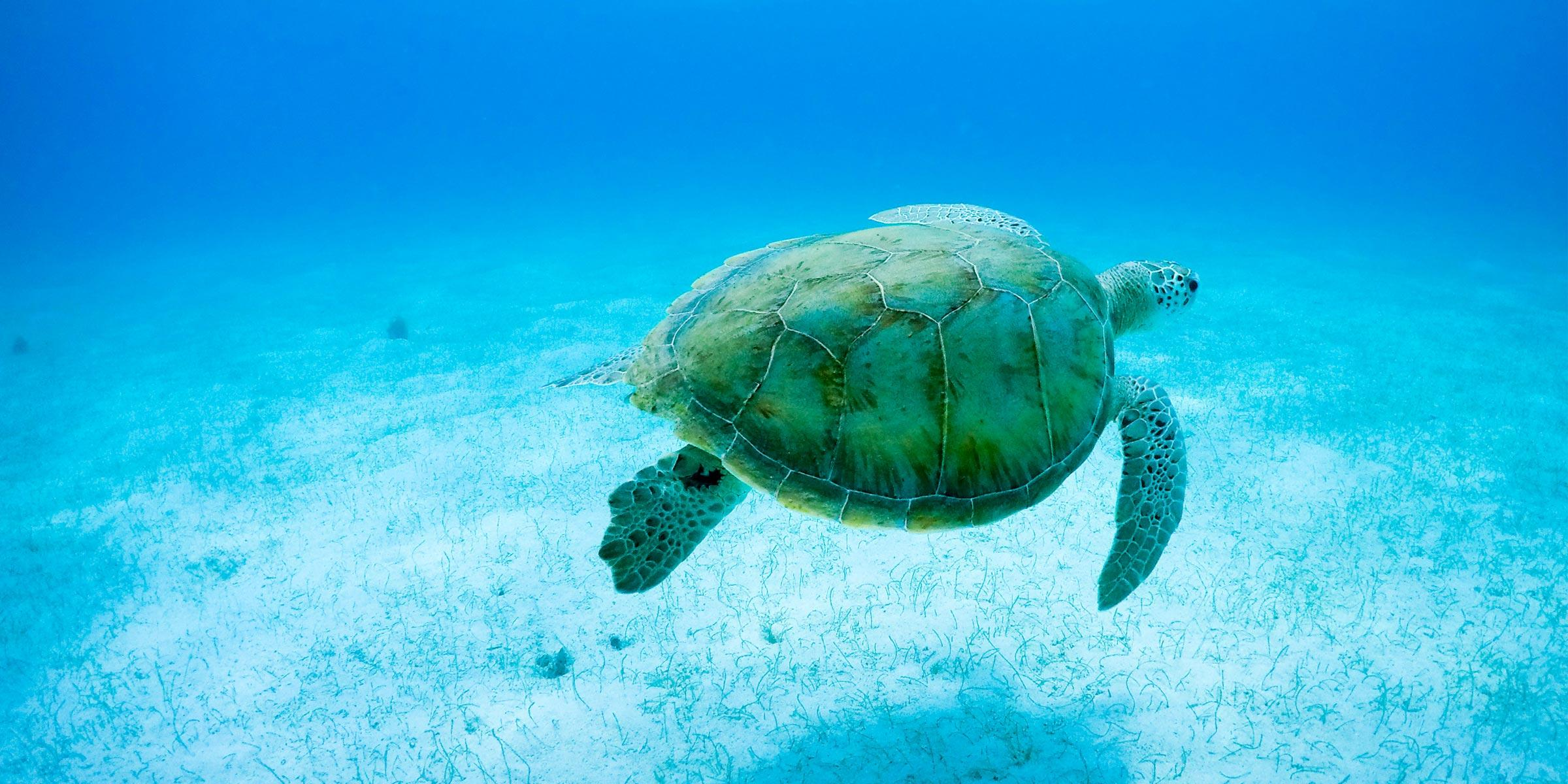 Sea turtle swimming in the Caribbean